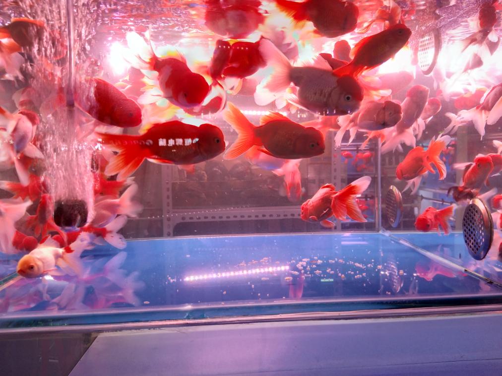 马驹桥的鱼